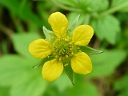 More Yellow Avens