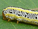 More Zebra Caterpillar Moths